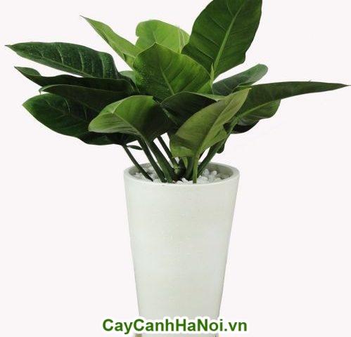 Cây Đế Vương- Loài cây mạnh mẽ-hình 4