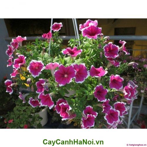 Hoa dạ yến thảo hình4