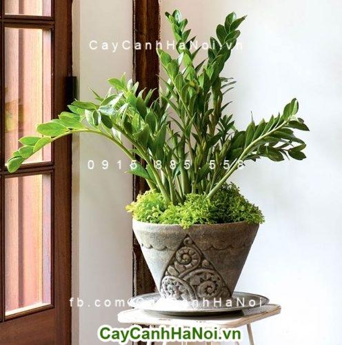 Cây Kim Tiền-loại cây có khả năng lọc sạch không khí đem lại may mắn 3
