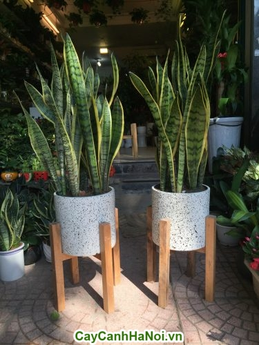 Cây lan hồ điệp-loài cây của sự cao sang hinh 3
