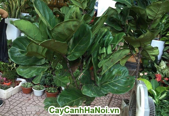 Cây bàng Singapore– loại cây mang lại may mắn,sức khỏe dồi dào hình 1