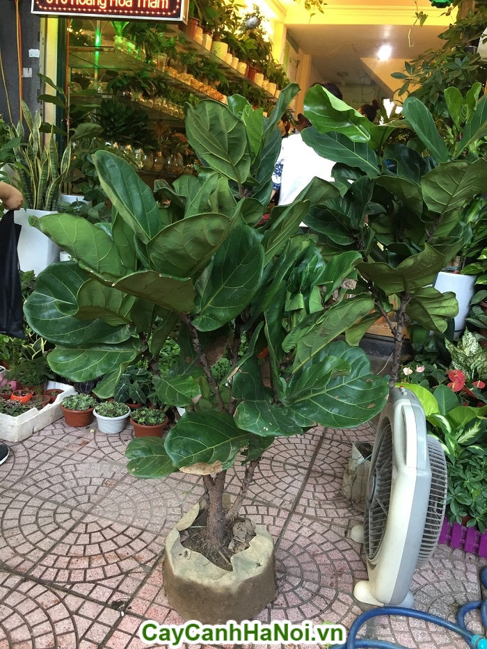 Cây bàng Singapore– loại cây mang lại may mắn,sức khỏe dồi dào