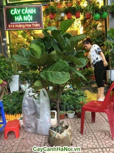 Cây bàng Singapore– loại cây mang lại may mắn,sức khỏe dồi dào hình 2