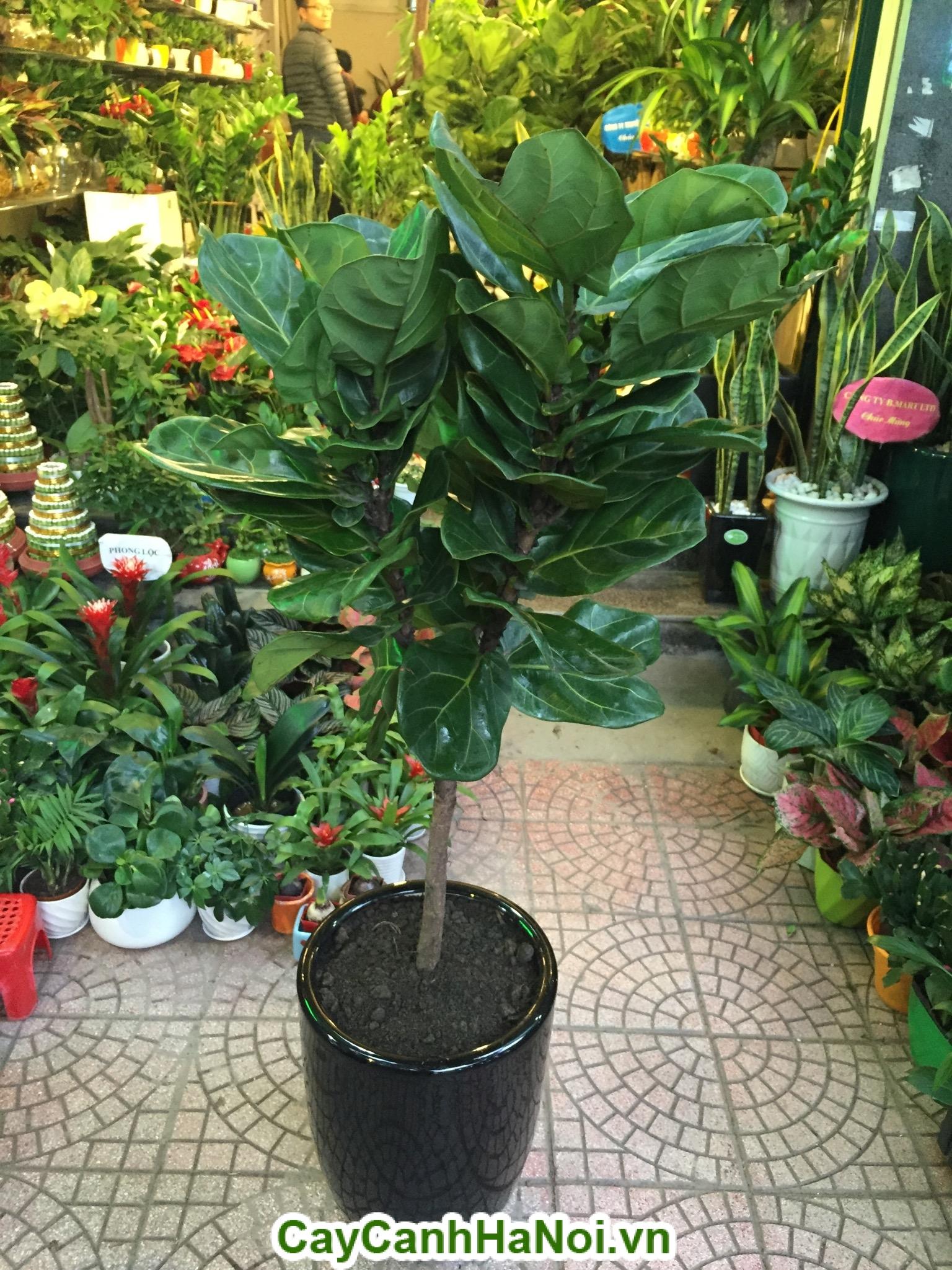 Cây bàng Singapore– loại cây mang lại may mắn,sức khỏe dồi dào hình 3