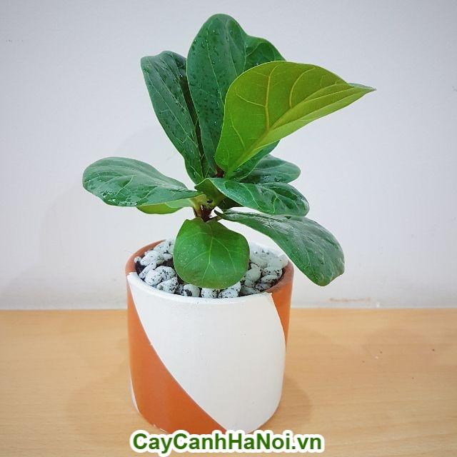 Cây bàng Singapore– loại cây mang lại may mắn,sức khỏe dồi dào hình 4