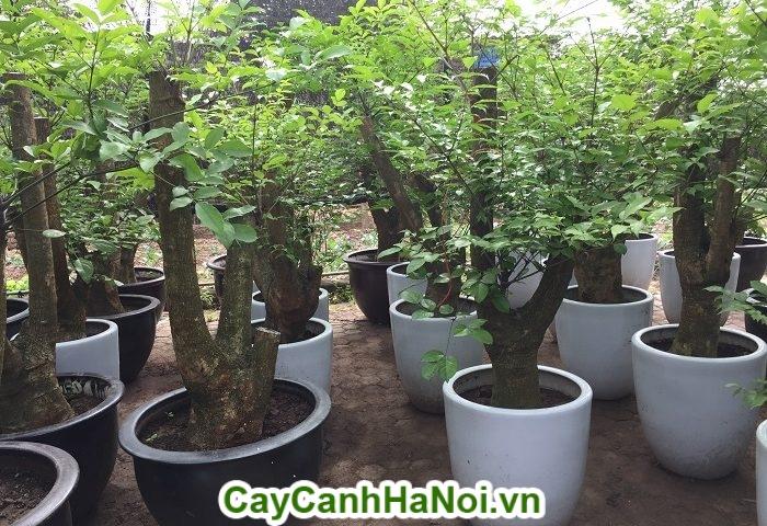 Cây hạnh phúc-loài cây mang lại hạnh phúc cho mọi người hình 1