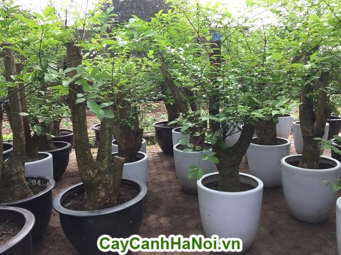 Cây hạnh phúc-loài cây mang lại hạnh phúc cho mọi người