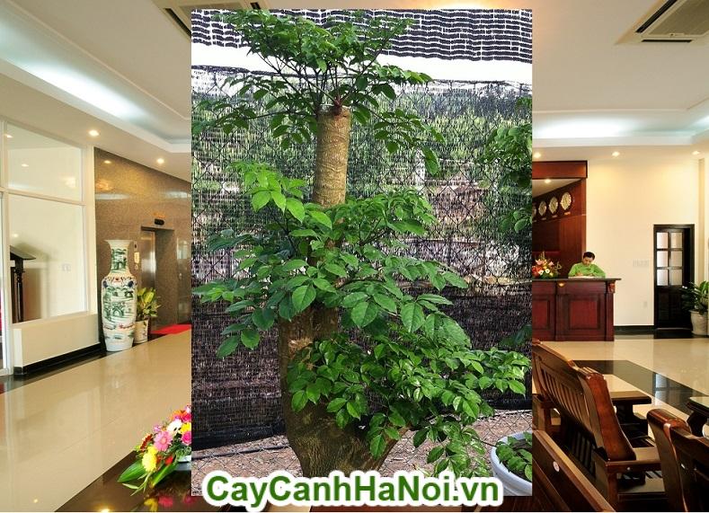Cây hạnh phúc-loài cây mang lại hạnh phúc cho mọi người hình 4
