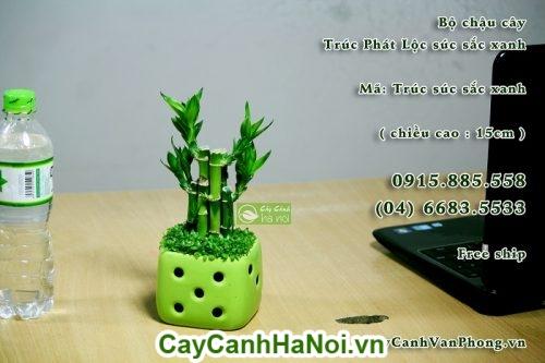 Cây Phát Lộc-loài cây của sự thành công,may mắn và tiền tài hình 3