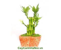 Cây Phát Lộc-loài cây của sự thành công,may mắn và tiền tài hình 4