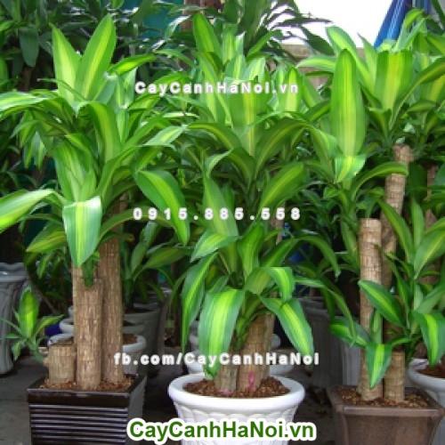 Cây Phát Tài-loài cây của vượng khí, vượng tài cho gia chủ hình 1