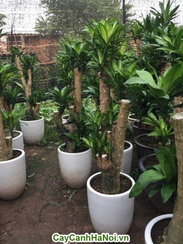 Cây Phát Tài-loài cây của vượng khí, vượng tài cho gia chủ hình 2