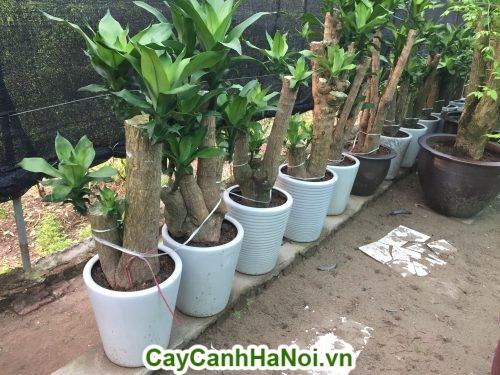 Cây Phát Tài-loài cây của vượng khí, vượng tài cho gia chủ hình 3