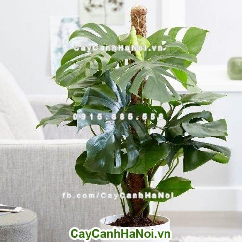Cây phong thủy-loài cây mang đến sự thịnh vượng