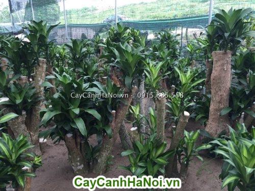Cây Thiết Mộc Lan-loài cây mang lại may mắn cho gia chủ hình 3
