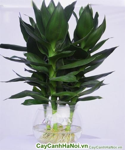 Cây thủy canh-loại cây tạo nên nhờ sự kết hợp giữa gió và nước hình 1