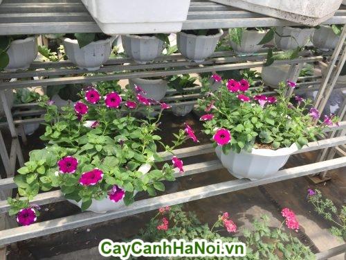 Hoa dạ yến thảo loài hoa mang sắc hồng rực rỡ hinh 1