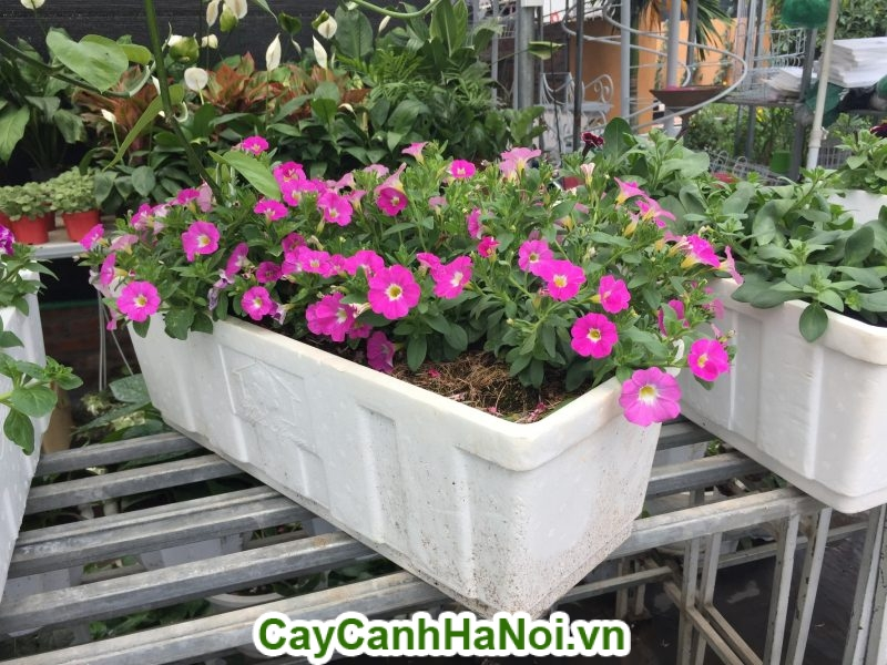 Hoa dạ yến thảo loài hoa mang sắc hồng rực rỡ hinh 2