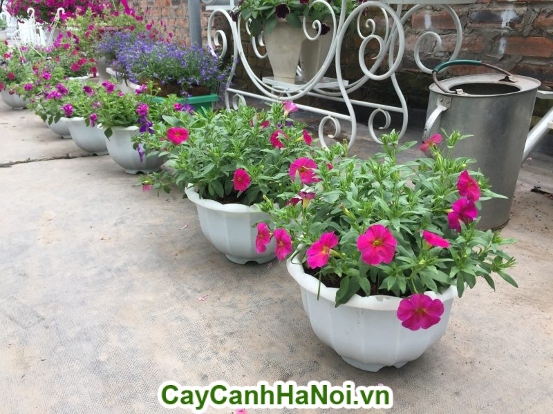 Hoa dạ yến thảo loài hoa mang sắc hồng rực rỡ hinh 3