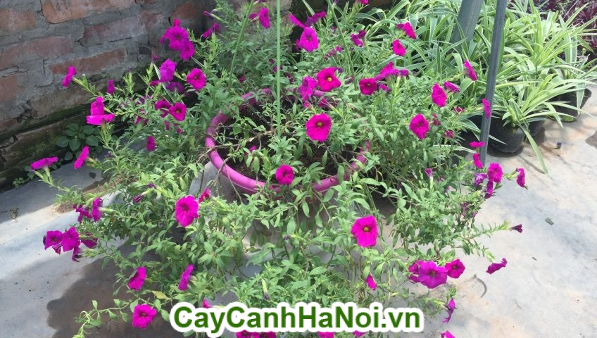 Hoa dạ yến thảo loài hoa mang sắc hồng rực rỡ hinh 4