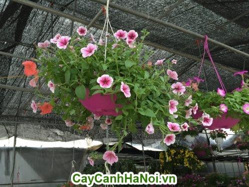 Hoa dạ yến thảo hình 2