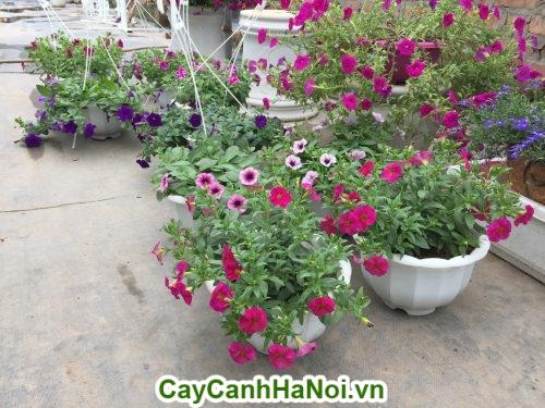 Hoa dạ yến thảo hình 1