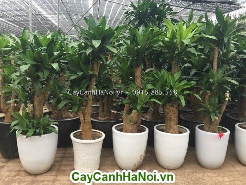 Dịch vụ Cho thuê cây cảnh giá rẻ tại Hà Nội-hinh 3